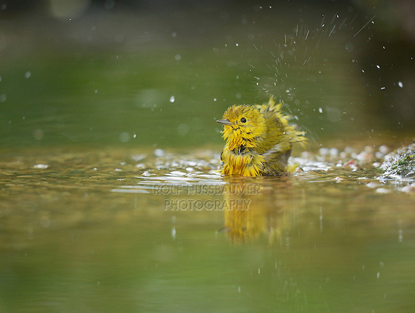 Yellow Warbler (Dendroica petechia), adult female bathing, Hill Country, Texas, USA