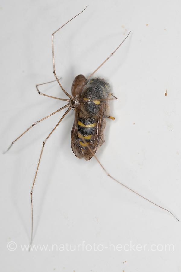 Große Zitterspinne, Zitter-Spinne, hat eine Wespe erbeutet und eingesponnen, an der Zimmerdecke in der Wohnung, Pholcus phalangioides, long-bodied cellar spider, longbodied cellar spider
