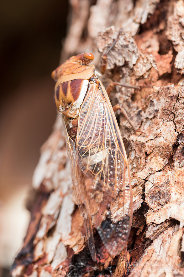 Undara Volcanic National Park, Queensland, Australia; a cicada is well camouflaged against the tree bark on which it sits
