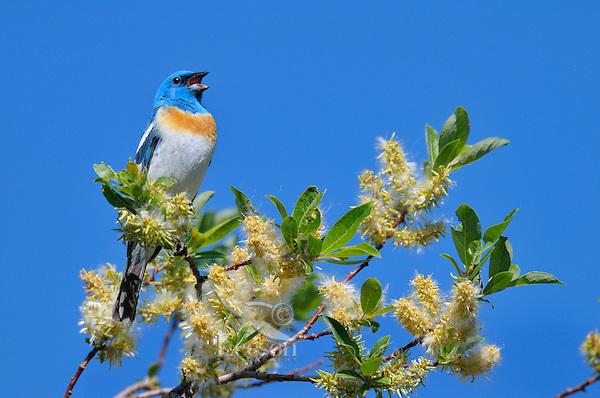 Male Lazuli Bunting (Passerina amoena) singing.  Western U.S., summer.
