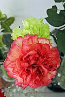 Flores. Cravo ( Dianthus caryophyllus). SP. Foto de Manuel Lourenço.