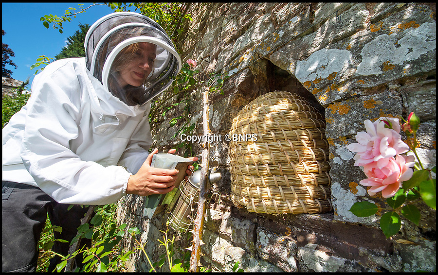 BNPS.co.uk (01202 558833)<br /> Pic: PhilYeomans/BNPS<br /> <br /> The new skeps fit perfectly into the 500 year old niches.<br /> <br /> Tudor style beekeeping returns to a West Country castle with a rich Royal heritage.<br /> <br /> Honey is being produced for the first time in nearly 500 years at Thornbury Castle near Bristol where Henry VIII honeymooned with Anne Boleyn in 1535.<br /> <br /> Head Gardener Katie Engler is installing 8 handmade beeskeps in the original niches built into the walled garden by the Tudor masons, as part of a plan to restore it back to its full  medieval glory, during Henry's reign collecting honey and keeping bees would have been done in a similar fashion. <br /> <br /> As with lots of the produce grown on site, which is now an luxury hotel, the honey will be used in the kitchen and sold in the garden 'shop'.<br /> <br /> The traditional Beeskeps are hand woven with long straw and wrapped in rattan taking 7 hours each to make.<br /> <br /> The castle near Bristol was built by the third Duke of Buckingham early in Henry's reign, but unfortunately for the Duke, he launched an ill-advised claim to the throne and was beheaded.<br /> <br /> Henry took over his estates and his Catholic daughter Mary (Bloody Mary) spent much of her teenage years in the castle.