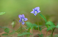 Violets,  Big Thicket National Preserve, East Texas, USA