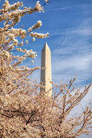 Washington Monument Cherry Blossoms Washington DC Cherry Blossoms blooming around the Tidal Basin, National Mall , and US Capitol in Washington DC symbolize the natural beauty of our Nation's Capital City and has become part of Washington DC's rite of Spring. Landmarks include the Jefferson Memorial, Washington Monument, and US Capitol. A popular tourist attraction and travel destination for many visiting Washington DC.
