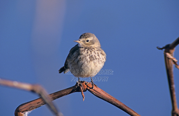 American Pipit, Anthus rubescens, adult, Bosque del Apache National Wildlife Refuge , New Mexico, USA