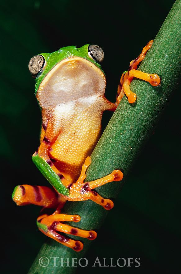 Barred Leaf Frog on Plant Stem; Tambopata River, Peru