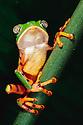 Barred Leaf Frog on Plant Stem; Tambopata River, Peru