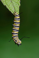 MONARCH BUTTERFLY life cycle..4th Instar on Joe-Pye Weed..North America. Danaus plexippus.