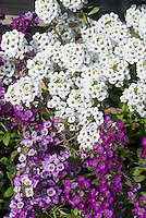 Fragrant Lobularia mixed colors white, purple, lavender Sweet alyssum