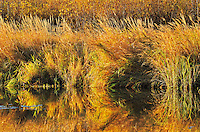 Reflection of grasses along Sppuce River  in autumn<br /> Prince Albert National Park<br /> Saskatchewan<br /> Canada