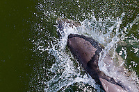 US, Florida. Ten Thousand Islands, Everglades. Common bottlenose dolphin in front of a boat.