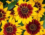 Rudbeckia hirta 'Denver Daisy' - Gloriosa daisy