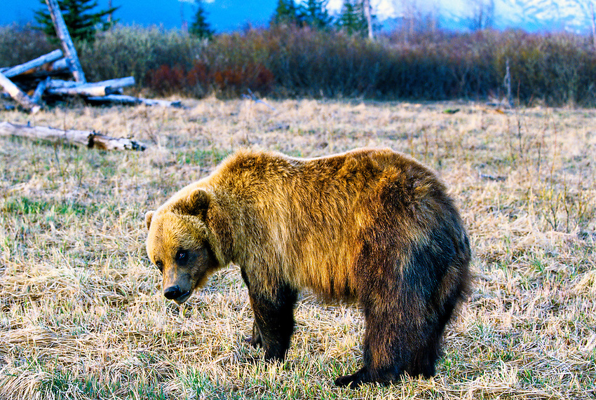 Grizzly Bear (Brown bear), Big Game Alaska Wildlife Park, Portage Glacier, Alaska USA