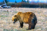 Grizzly Bear (Brown bear), Big Game Alaska Wildlife Park, Portage Glacier, Alaska USA