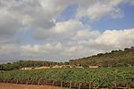 Israel, Upper Galilee, a vineyard on the road to Keren Naftali