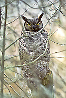 Great Horned Owl, Nisqually National Wildlife Refuge, Washington