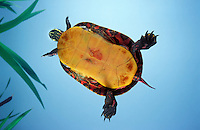 Eastern Painted Turtle..Most widespread turtle in North America..Nova Scotia, Canada. Chrysemys p. picta.