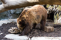 0325-1003  Grizzly Bear, Ursus arctos horribilis  © David Kuhn/Dwight Kuhn Photography.