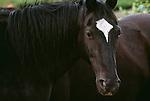 Horses, Tonquin Valley, Jasper National Park, Alberta, Canada