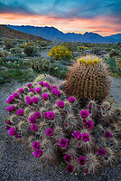 Anza-Borrego Desert State Park: Blossoming Hedgehog cactus (Echinocereus engelmannii) and barrel cactus (Ferocactus acanthodes) in Yaqui Meadows with Indianhead Peak of the San Ysidro Mountains in the distance at sunset.