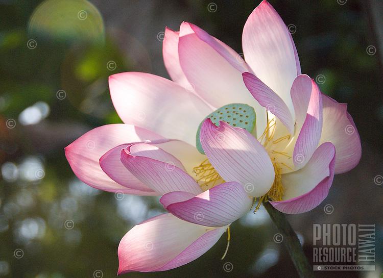 Large Pink lotus flower opening