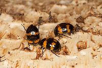 Baumpilzkäfer, Baumpilz-Käfer, Gelbbindiger Schwarzkäfer, Rotbindiger Schwarzkäfer, Gebänderter Porling-Schwarzkäfer, Pilzkäfer, Pilz-Käfer, auf den Poren eines Baumpilz, Diaperis boleti, Schwarzkäfer, Tenebrionidae, darkling beetle