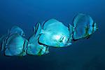 Orbicular batfish-Platax (Platax orbicularis) North of Red Sea, Egypt
