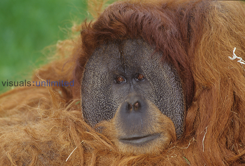 Orangutan ,Pongo pygmaeus,, one of the Great Apes and an endangered species, Sumatra, Southeast Asia.