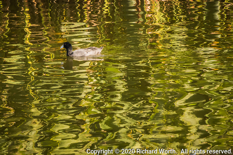 """An American coot is paddling contentedly, surrounded by the green rellections of wetland grasses along the shoreline at a neighborhood park known as """"The Duck Pond""""."""