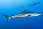 Tiger Beach, Grand Bahama Island, Bahamas; a pair of Caribbean Reef Sharks swimming in blue water