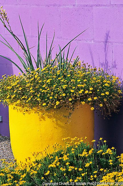 Albuquerque landscape architect David Cristiani took his home garden to another level by painting a wall lilac purple and the planting some native yellow wildflowers in a complimentary yellow urn to create an artistic diorama.