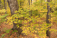 maple grove, autumn color at Arnold Arboretum, Boston, MA