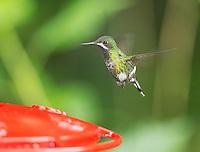 Female green thorntail, Popelairia conversii, approaching a feeder at San Jorge Eco-Lodge, Milpe, Ecuador