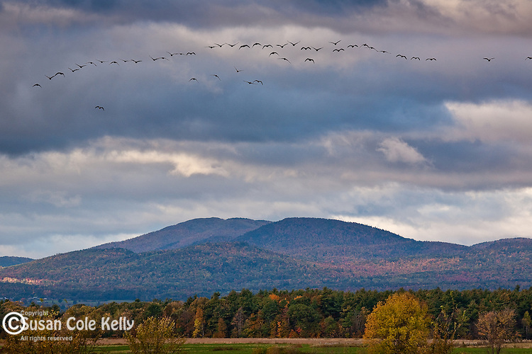 Migrating geese fly over Dead Creek Wildlife Area, Addison, VT, USA
