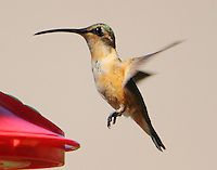 Female lucifer hummingbird