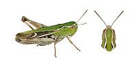 Stripe-winged Grasshopper - Stenobothrus lineatus - female