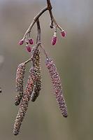 Schwarz-Erle, Schwarzerle, Erle, Männliche und weibliche Blüte, Blüten, Alnus glutinosa, Common Alder, Aulne glutineux