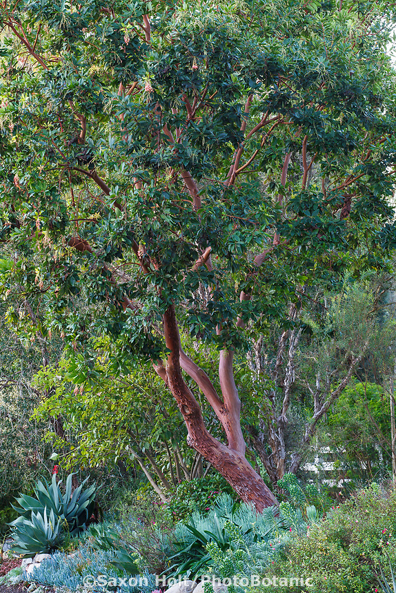 Arbutus unedo, Strawberry Tree with red bark, San Diego