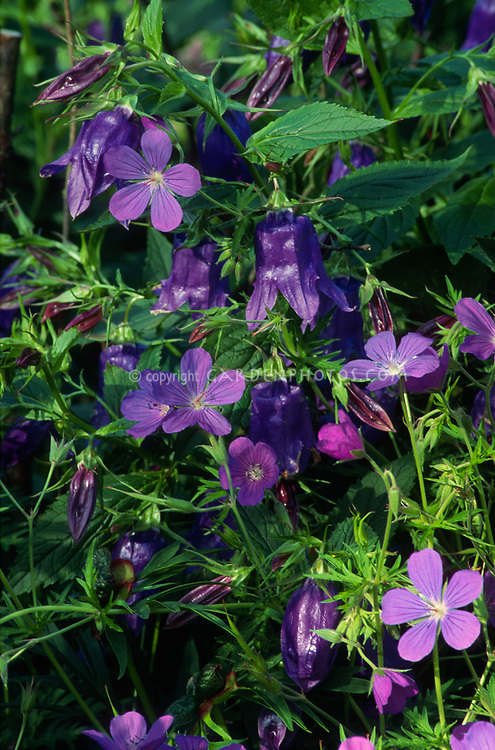 Geranium 'Brookside' & Campanula 'Kent Belle', blue flowered perennials in plant garden use combination