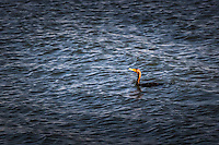 A Double-crested cormorant momentarily floats on the rippled waters of San Francisco Bay, soon to  disappear, diving for dinner.