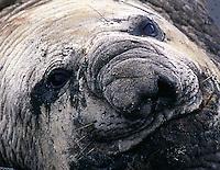 Southern Elephant Seal Mirounga leonina. Boredom. Deception Island, Antarctica.
