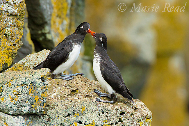 Parakeet Auklets (Aethia psittacula) pair in breeding plumage touching bills, St. Paul Island, Pribilofs, Alaska, USA