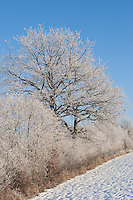 Knick, Hecke im Winter bei Schnee und Reif, Raureif, hedge in winter when snow and frost, hoarfrost