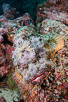 RK0170-D. Stone Scorpionfish (Scorpaena plumieri mystes), well camoflaged on rocky reef. Galapagos Islands, Ecuador, Pacific Ocean.<br /> Photo Copyright &copy; Brandon Cole. All rights reserved worldwide.  www.brandoncole.com