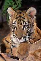 683999187 a captive bengal tiger cub panthera tigris studies its surroundings from a log pile animal is a wildlife rescue species is native to india and is highly endangered