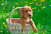 Marek, ANIMALS, REALISTISCHE TIERE, ANIMALES REALISTICOS, dogs, photos+++++,PLMP2978,#a#, EVERYDAY