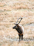 Elk are often found in Yellowstone.