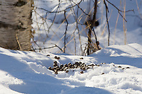 Fresh Moose droppings left in the snow by one of the wandering herbivores near Wasilla Alaska.