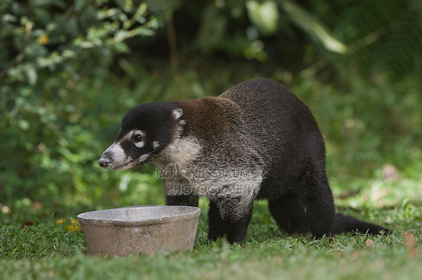 White-nosed Coati, Nasua narica, adult eating from bowl, Central Valley, Costa Rica, Central America, December 2006