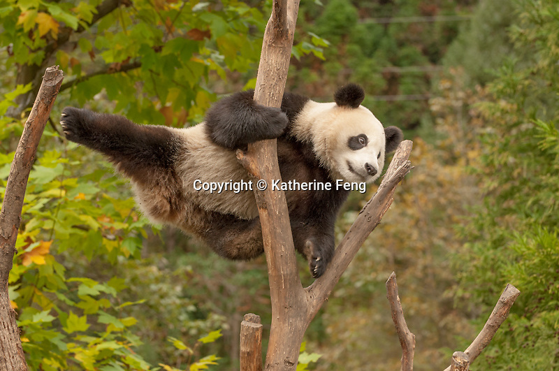 2 year old giant panda leaping from one branch to another.  (Ailuropoda melanoleuca)  China Conservation and Research Center for the Giant Panda,  Wolong Nature Reserve, Sichuan, China